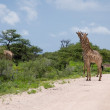 Girrafes in Etosha park - Stock Photo