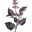 Purple basil twig with leaves and flowers isolated watercolor pa — Stock Photo