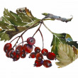 Watercolor painting of rowanberry twig with fruits and leaves is — Stock Photo