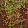 Red and green ivy vines on brown wooden plank fence - Stock Photo
