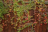 Red and green ivy vines on brown wooden plank fence — 图库照片