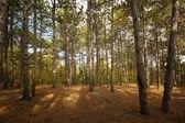 Pine forest at Crimea mountains on Tsarskaya tropa (King — Stock Photo