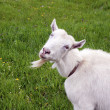Smiling female goat on blossom meadow - Stock Photo