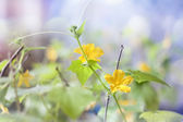 Cucumber flowers with leaves and buds selective focus — Stock Photo