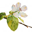 Royalty-Free Stock Photo: Quince blossom twig with flower and leaves watercolor illustrati