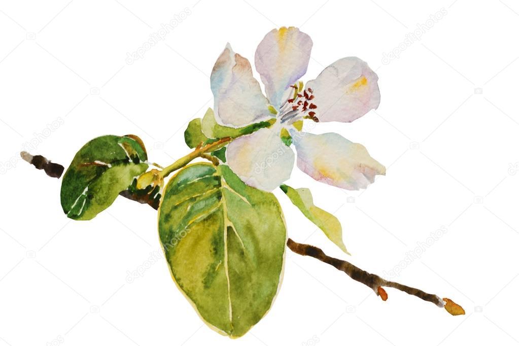 木瓜桃花枝花和叶子水彩插画