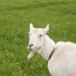 Smiling female goat on blossom meadow — Stock Photo
