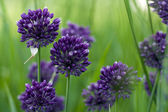 Blooming purple wild onion heads on the green grass selective fo — Stock Photo
