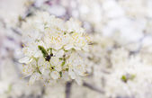 Blossom white cherry tree background selective focus — Stock Photo