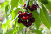 Bunch of ripe red sweet cherry on the tree in garden — Stock Photo