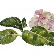 Stock Photo: Pink hydrangewith leaves and stem original watercolor painting