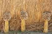 Three wheat sheafes on straw fence background, agricultural fest — Stock Photo