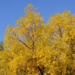 Yellowing trees — Stock Photo #13568439