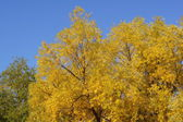 Yellowing trees — Stock Photo