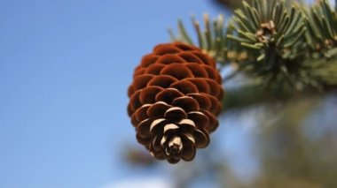 Fir-cone against blue sky (close up) — Stock Video