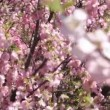 Flowering apricot tree branches, shaken wind, pup — Stock Video #25698599