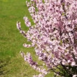 Flowering apricot bush shaken wind — Stock Video #25699065