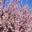 Flowering apricot tree branches, shaken wind, against blue sky — Stock Video