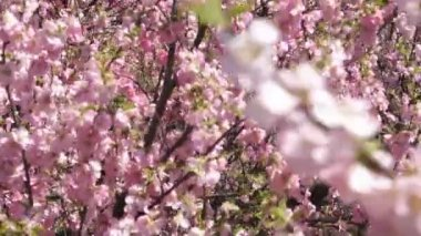 Flowering apricot tree branches, shaken wind, pan up — Stock Video