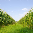 Stock Photo: Corn farm