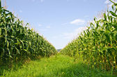 Corn farm — Stock Photo