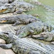 Many crocodiles — Stock Photo #15597063
