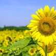 Field of sunflower - 