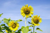 Zonnebloem veld met blauwe hemel — Stockfoto