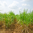 Sugar cane field — Stock Photo #32055047