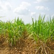 Stock Photo: Sugar cane field