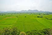 Top view of rice field — Stock Photo