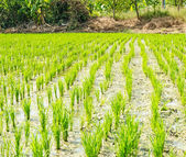 Young rice plant in rice field — Stock Photo