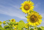 Champ de tournesols sur ciel bleu — Photo