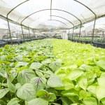 Vegetables hydroponics farm — Stock Photo #45005311
