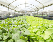 Vegetables hydroponics farm — Stock Photo