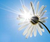 Camomilla e sole — Foto Stock
