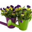 Two watering cans with violets - Stock Photo