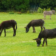 Pace of donkeys - Stock Photo