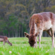 Cervus Elaphus or Red Deer grazing — Stock Photo