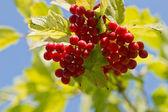 Viburnum berries. — Stock Photo