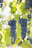 Bunches of dark grapes. — Stock Photo