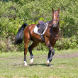 Bay horse under saddle. — Stock Photo