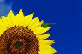 Красивый подсолнух на фоне голубого неба — Стоковое фото