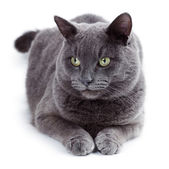 Green eyed Maltese cat also known as the British Blue — Stock Photo