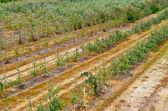 Cultivos agrícolas — Foto de Stock