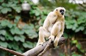 Macaco velho — Fotografia Stock