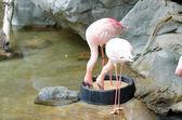 Roze flamingo 's — Stockfoto