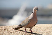 Single brown pigeon on the stone for different uses — Stock Photo