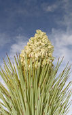Single Joshua Tree flower and spines — Stock Photo