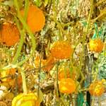 1. Organic yellow gourds growing on trellis — Stock Photo #33149631